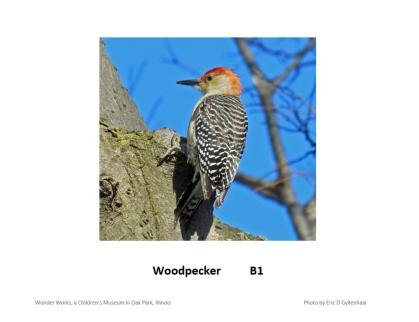 morebirdswoodpeckerposter